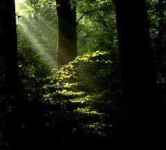 Light in the Green, Green Forest (algo) Tags: england forest woodland photography topf50 topv333 bravo topv1111 chilterns topv999 topf300 topv5555 topv11111 algo topv3333 topf100 topf200 sunbeams chilternforest magicdonkey outstandingshots gtaggroup visiongroup 200750plusfaves infinestyle pfgreenwood primevalforestgroups pfbeams