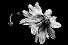 Glimpse of Future (lowbattery) Tags: old bw white plant black flower contrast mono stem time duo petal future present bud dying past tones fragile cafnoir artlegacy top30bw bwartaward