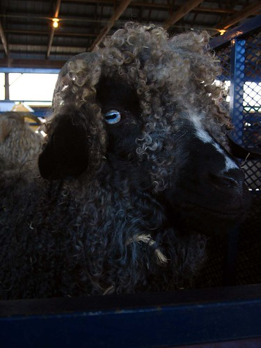 Mohair sheep