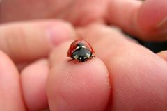 Ladybug, Sheffield, UK (flyingibis) Tags: