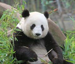 A very relaxed Mei Sheng. (kjdrill) Tags: california bear usa giant zoo panda sandiego chinese 170 pandas endangeredspecies sdzoo meisheng