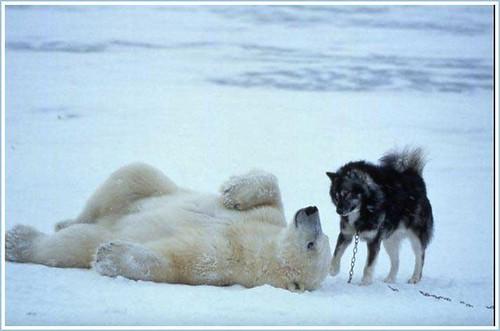Polar Bear and Husky 6