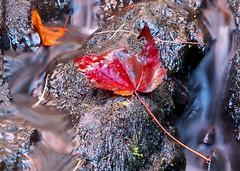 Red Maple in stream (J-Fish) Tags: autumn red fall nature water waterfall maple stream slowshutter redmaple acerrubrum z612 kodakz612 5bangs