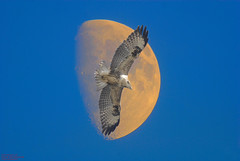 BUZZARD FLY BY #1 (spw6156) Tags: copyright moon by flying steve buzzard raptors waterhouse the golddragon anawesomeshot theunforgettablepictures spw6156 stevewaterhouse copyrightstevewaterhouse