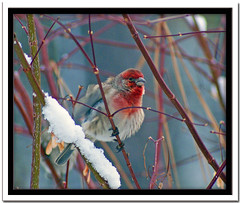 House finch (Carplips) Tags: red snow bird fluffy perch plump housefinch avian crabapple naturesfinest top20colorpix aplusphoto flickrdiamond