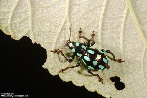 圓斑硬象鼻蟲  Pachyrrhynchus tobafolius
