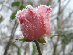 frost, rose (the incredible how (intermitten.t)) Tags: pink cold rose wales frost december cymru icy pembrokeshire 010 icecrystals sirbenfro frozenrose rhagfyr anawesomeshot 191207 frosigros