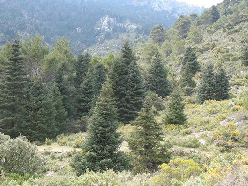 Spanish Fir tree near Yunquera