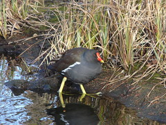 Moorhen by Lavender Pond