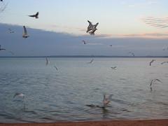 IMG_0232 (caro_801) Tags: texas gulls feedingthebirds lakebuchanan