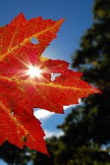 Sun Shining Through (AH in Pgh) Tags: light orange sun beautiful leaf colorful holes flare mapleleaf autumnleaf