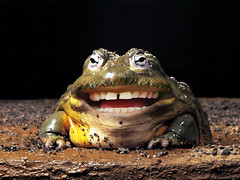 Laughing Frog (Sebastian Niedlich (Grabthar)) Tags: silly animal laughing photoshop manipulated mouth fun happy funny photoshopped teeth humor manipulation humour frog laugh stupid mutant manip photoshopping mutation creatue grabthar sebastianniedlich clevercreativecaptures totalphotoshop
