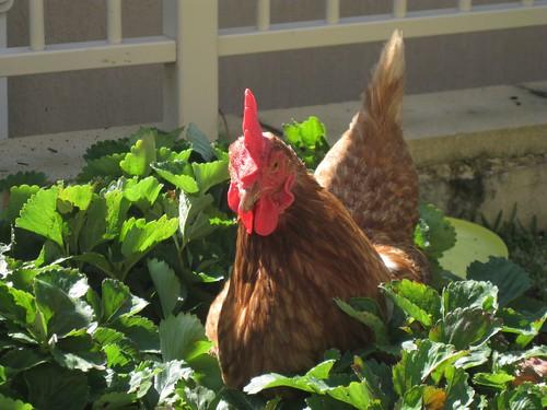 Chook in the garden