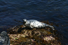 Seal2 (MikeyGumn) Tags: water fieldtrip seal lundy isleoflundy lundyisle uobsobs
