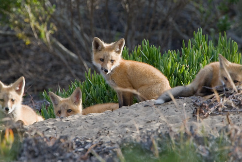Four Red Fox Pup(s) Morro Bay, CA 28 May by mikebaird, on Flickr
