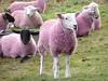 Poust-pink