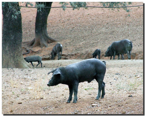 Acorn hams / Jamones de bellota por . SantiMB ..