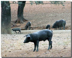 Acorn hams / Jamones de bellota (by . SantiMB .)