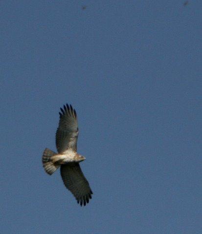 short-toed snake eagle bghatta141007