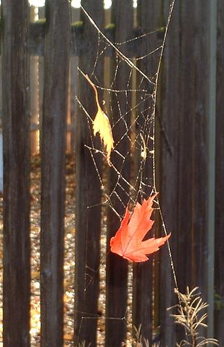 cobweb leaves
