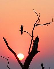 ESSENTIAL (peo pea) Tags: africa sunset nature bush tramonto wildlife natura safari botswana chobe savana naturalmente 10faves peopea wwfita