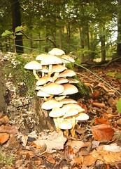 herfst (processie) Tags: automne bomen herfst woody stump toadstool bos wald champignon pilz paddestoelen boisé