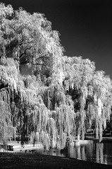 Faux Infrared #2 (kidrdaso) Tags: blackandwhite bw usa reflection tree water boston ma pond nikon quiet peace d70 massachusetts newengland ducks willow bostonpublicgarden 28200 fauxinfrared kimberlysink