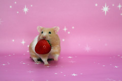 Strawberry (The Shabby Bunny) Tags: cute animal cherry nagetier strawberry hamster hammy syrian erdbeere bestofpink