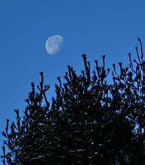 Pining for the Moon (vtpeacenik) Tags: morning november moon vermont setting whitepine