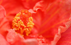 Hibiscus Macro (janruss) Tags: fab orange flower macro floral hibiscus defenders naturesfinest blueribbonwinner lifeasiseeit flowerotica naturesgallery mywinners top20orange ysplix top20vivid janruss janinerussell
