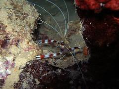 PB300062.JPG (coismarbella) Tags: mergulho dive scuba diving buceo submarinismo tauchen djibouti plonge crustaceos