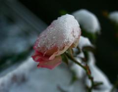 hielo (floflò1971) Tags: flowers snow flower ice rose canon flor rosa neve fiori fiore hielo ghiaccio mywinner thatsclassy