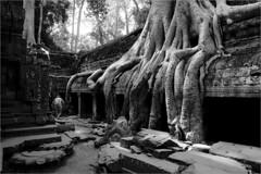 Ta Phrom (Vivek M.) Tags: world heritage monument temple cambodia buddhist monk unesco siemreap angkor wat hindu archeology taphrom