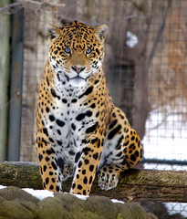 The Jaguar (Property#1) Tags: fab toronto ontario canada nature cat photo feline image photos kitty images bigcat jaguar torontozoo sigmalens specanimal mywinner property1 platinumphoto anawesomeshot diamondclassphotographer flickrdiamond thenaturegroup theperfectphotographer decemberpentaxk10d