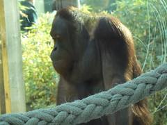 bornean orangutan (cardbush) Tags: barcelona costa sumatra zoo spain barca catalonia espana spanish borneo orangutan endangered rare barc catalan catalonian