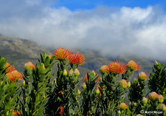 Pincushion Protea flowering in habitat (Martin_Heigan) Tags: camera flowers mountain flower nature clouds digital southafrica nikon dof close martin photograph pincushion d200 dslr habitat breathtaking worcester protea westerncape karoo leucospermum proteaceae suidafrika 60mmf28micro blomme nikonstunninggallery heigan diamondclassphotographer 12august2007 mhsetproteas mhsetuntouched mhsetflowers blinkagain