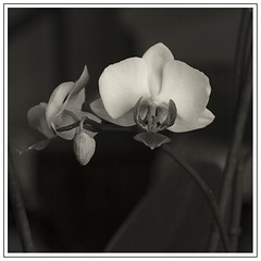 Orchide ( pguisard ) Tags: white black france art fleur monochrome club canon plante photography eos gris photo blackwhite noir photographer photographie noiretblanc nb amateur peg blanc association orchide noirblanc photographe vgtaux chelles photographeamateur guisard mrpeg pierreeric 77asa chelles77 guisardpierreeric mrpeg77 pierreericguisard pguisard nuancedegris pierreericguisardphotographe