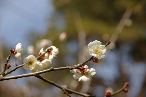 apricot(white)