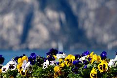 primavera sul Garda (photolupi) Tags: lago garda dof blu giallo trento 2008 primule colori bianco luigi trentino torbole vele aiuola piazzi photolupi luigipiazzi