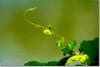 Green Heart for Earth Day (Shabbir Ferdous) Tags: photographer dhaka bangladesh earthday bangladeshi april22 greenearth canoneosrebelxti shabbirferdous sigmazoomtelephoto70300mmf456apodgmacro wwwshabbirferdouscom shabbirferdouscom