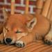 柴犬:小米米IMG_7351