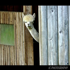 Well, am I pretty now? (H. Eisenreich Foto) Tags: alpaca prime photo ic foto fotografie hans award heike landschaft 2012 reise alpaka reisefotografie landschaftsfotografie schmidmhlen flickraward eisenreich reisefoto allersburg eijomian landschftsfoto