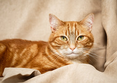 'Tinks' (Jonathan Casey) Tags: cat ginger catchums chums norfolk uk rescue rescuecat tom d810 zeiss otus 55mm nikon otus1455 carlzeiss