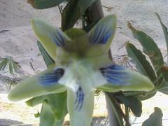 some of my passiflora 5783040619_0b73e6c167_m