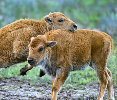 """""""I'm the Biggest Baddest Bison in the West!""""  """"Yeah, whatever."""" (Spokeannie) Tags: yellowstone bison"""