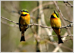 little bee eaters chatting (A.M.G.1 - cruising) Tags: nature birds animals african wildlife soe birdwatcher borntobewild goodman andygoodman littlebeeeater meropspusillus southafricanwildlife shieldofexcellence southernafricanwildlife littlebeeeaters wildlifesouthafrica btbw goodmanandy vosplusbellesphotos wildlifeinsouthernafrica africanwildlifephotographer wildilfephotographer
