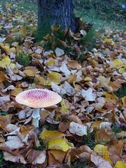 (Elsa Kurppa) Tags: autumn fall mushroom fungi toadstool amanitamuscaria svamp höst amanita 2007 syksy flyagaric осень гриб sieni naturesfinest flugsvamp kärpässieni punakärpässieni rödflugsvamp мухомор flymushroom punainenkärpässieni elsakurppa
