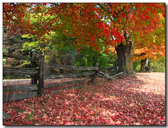 Autumn Carpet (Lisa-S) Tags: trees orange ontario canada green fall leaves fence landscape autum lisas explore milton allrightsreserved halton themoulinrouge dec09 interestingness44 i500 2847 mywinners mywinner abigfave diamondclassphotographer theunforgettablepictures thegardenofzen copyrightlisastokes gappool
