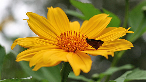 Skipper on giant mexican sunflower