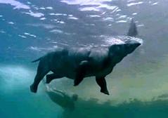 15 Arsinoitherium swims